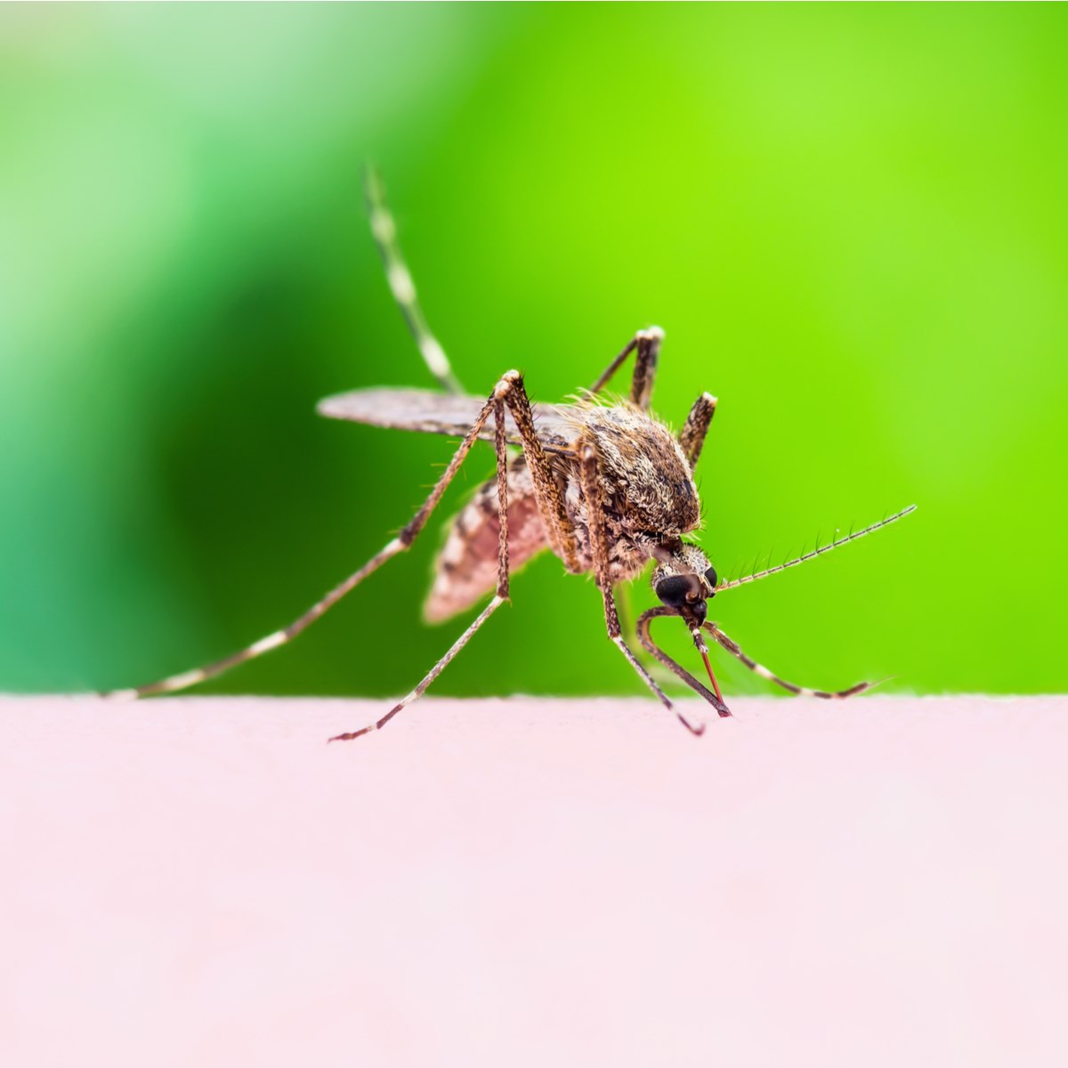 Picaduras mosquito