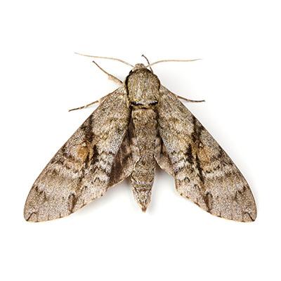 Otros insectos voladores