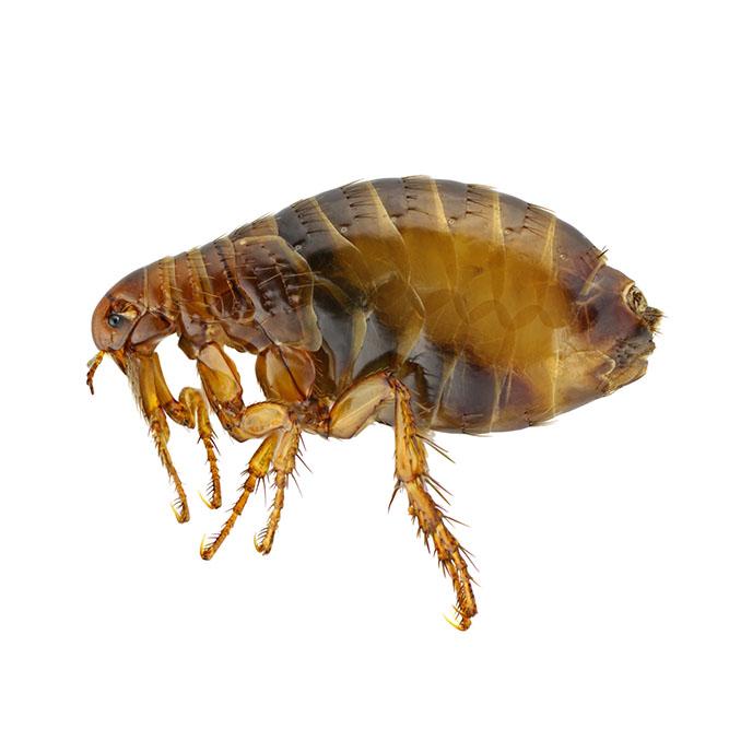 Plagas pulgas Alicante