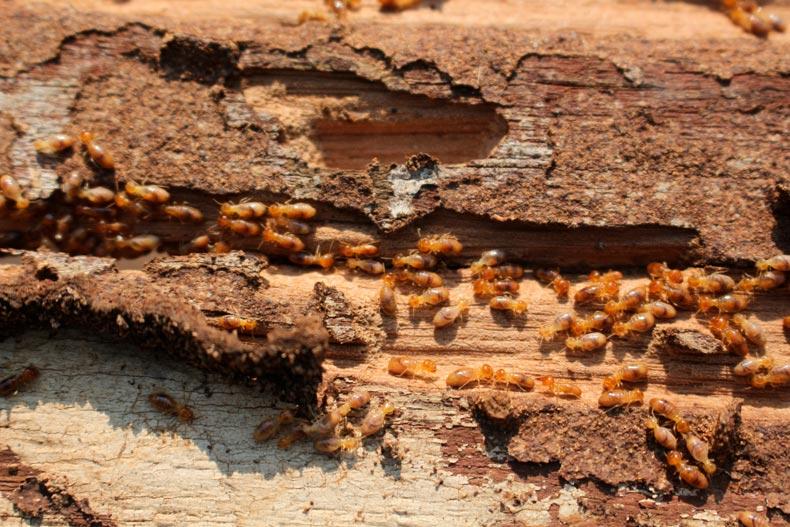 Conociendo a las termitas